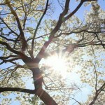 stock-footage-looking-up-at-the-sun-in-the-sky-from-under-a-dogwood-tree-in-the-springtime-and-seeing-the-blooms